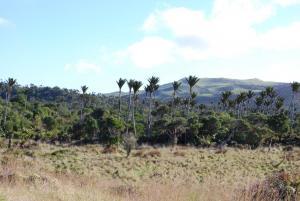 Chatham Is Nikau, Waipaua Scenic Reserve, Pitt Is